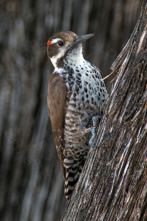 Woodpecker, Arizona