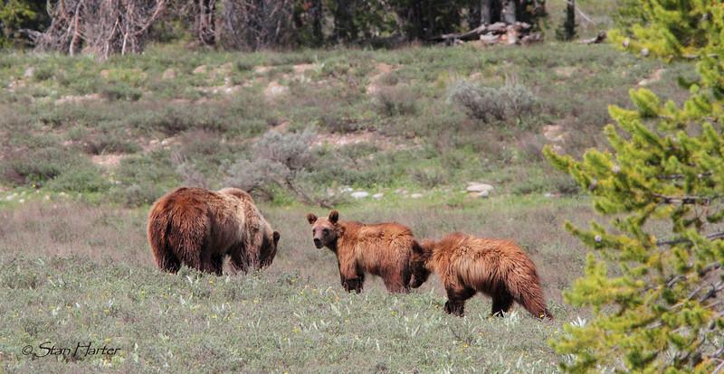 Teton Grizzly Family.jpg