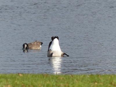 20141114 Canada Goose