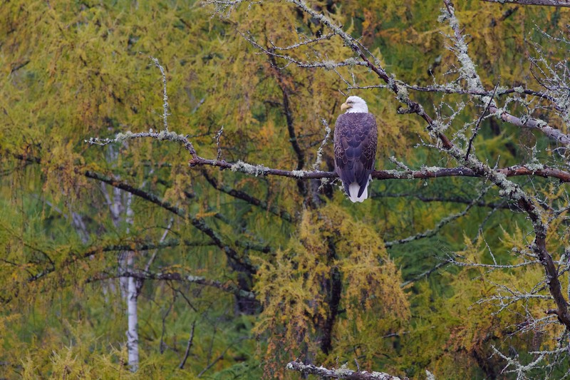 Bald Eagle CR133 Sax-Zim Bog MN IMG_3169.jpg