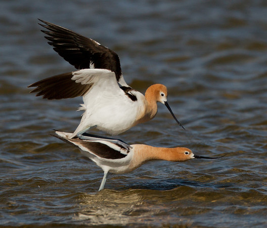 Stilts and Avocets  (Recurvirostridae)