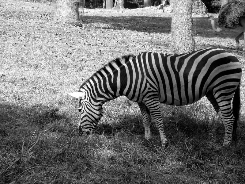 Monochromatic Horse, Err, Zebra,_25070530.jpg