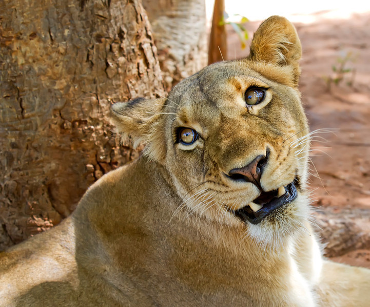 female-lion-face-close-up.jpg