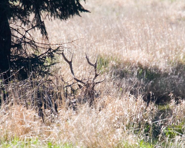 Elk in the grass.jpg