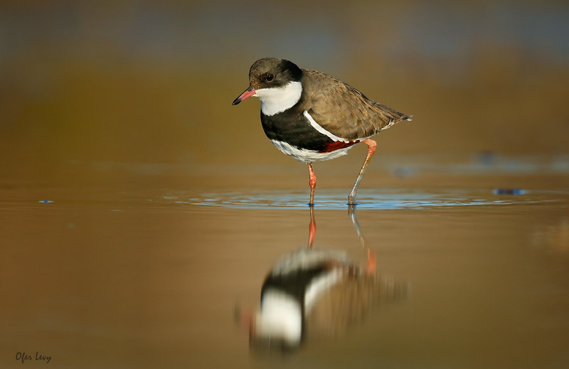 Red-kneed Dotterel 5.jpg