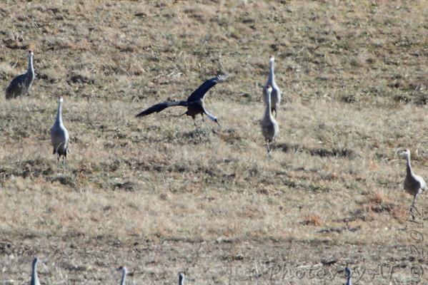 2012-02-12 Hooded Crane Indiana