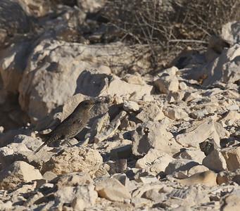 Sinirastas (Monticola solitarius)