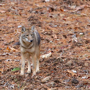 Coyote on Berry Mountain - North Alabama - GPS