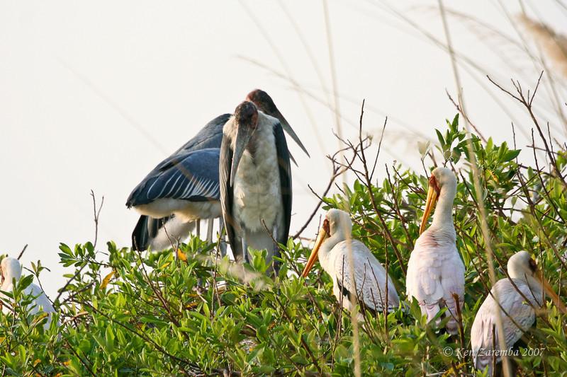Marabou Stork and Yellow-billed Stork, Moremi Game Reserve, Okavango Delta, Botswana