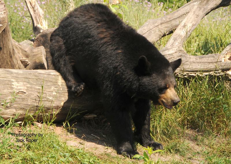 Very Big mama bear .jpg