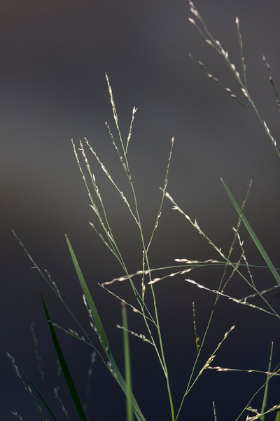The sigma 180mm gives such nice bokeh.  These wild grasses have a poetic grace.