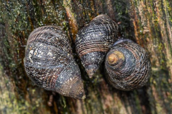 Periwinkle snails (Littorinidae)