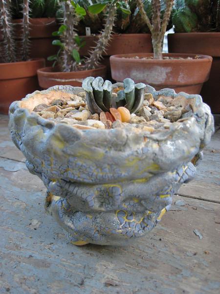 Haworthia Truncata variegate