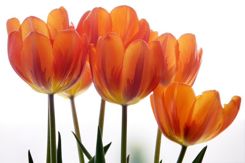 orange-tulips.jpg