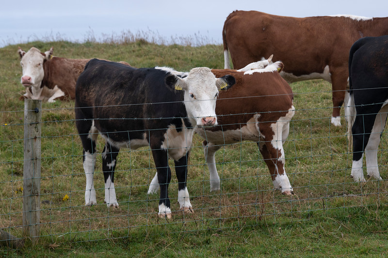Cattle on a farm, Cliffs of Moher, Lahinch, County Clare, Ireland