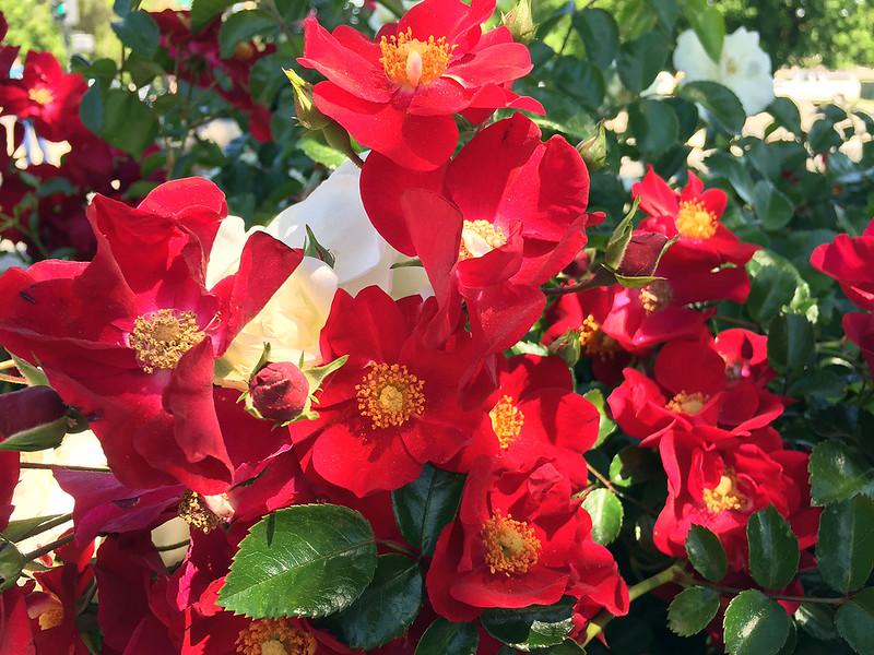 office roses.jpg