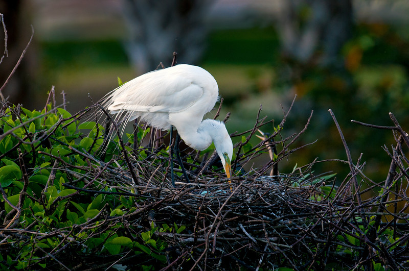 Great White Heron with eggs_5841.jpg
