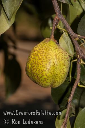 Tsu Li Pear (Pyrus pyrifolia sp.)