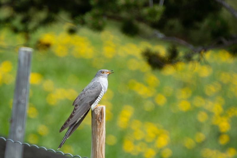 kukułka | common cuckoo | cuculus canorus