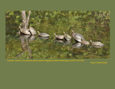Painted Turtles A67230.jpg