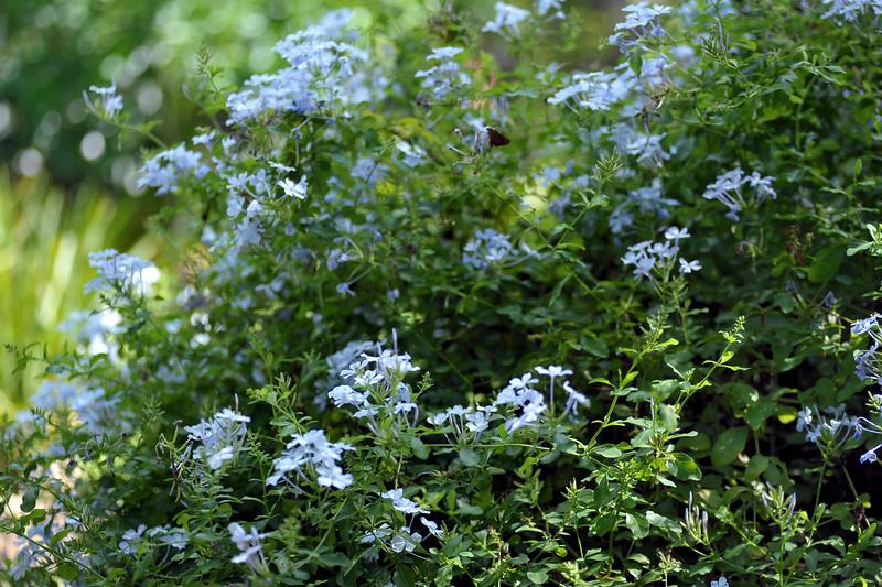Plumbago auriculata (Plumbaginaceae)