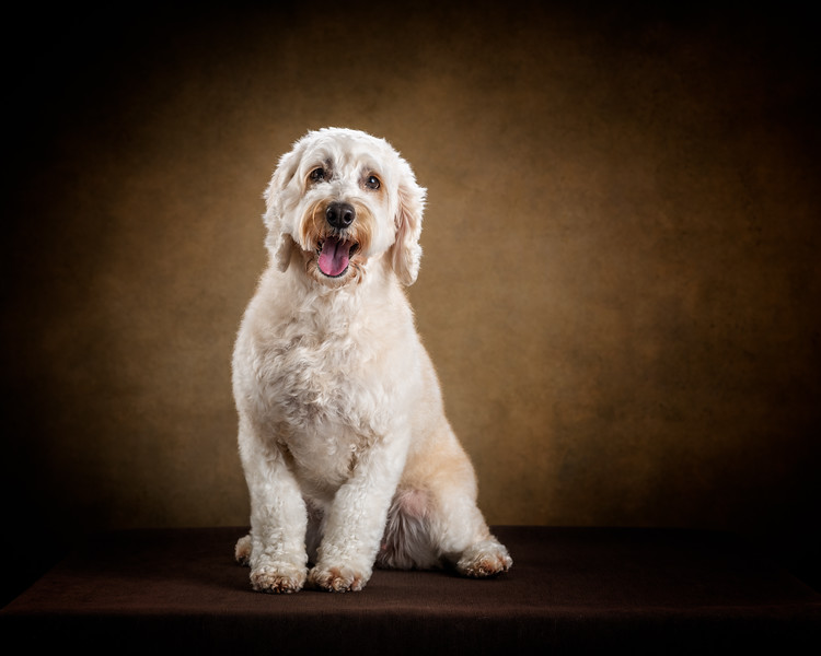 129460-Belle-the-Cockapoo2019.jpg