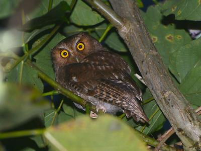 Santa Marta Screech-Owl