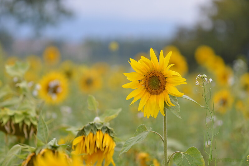 Sunflower Lonay_20092020 (73).JPG