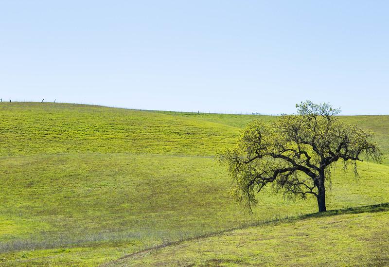 California Tree on hill.jpg
