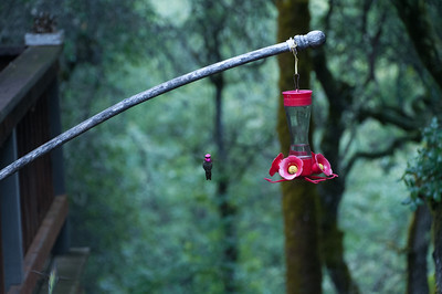 Grass_Valley_Hummingbirds