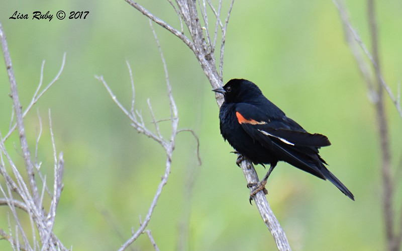 Red-winged Blackbird - 6/11/-2017 - Lake Hodges, Bernardo Bay Trail