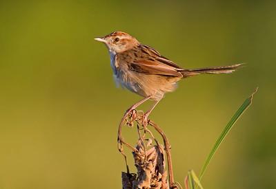 Cisticolas, Grassbirds