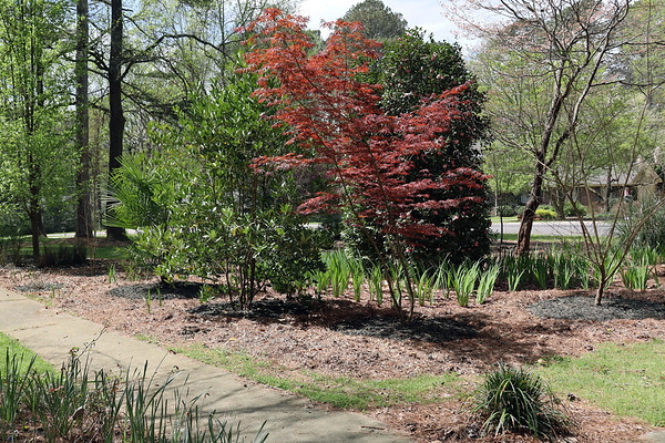 March 30:  Activity begins at the azaleas .  .  .