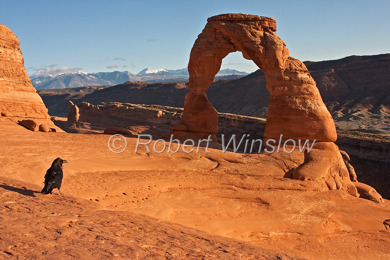 Common Raven, Corvus corax, Delicate Arch, Arches National Park, USA, North America, Order PASSERIFORMES - Family CORVIDAE