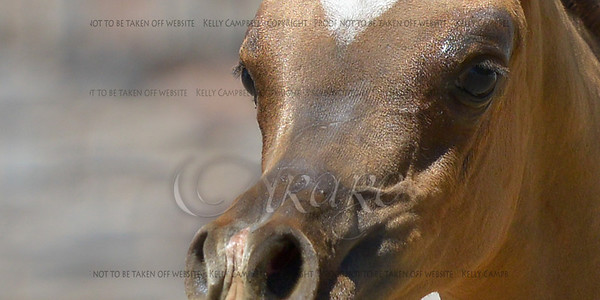 Raeken Arabians