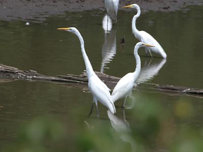Egrets, July 26, 2012