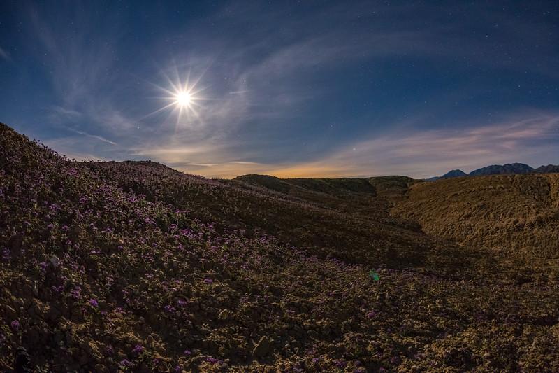 Purple Wildflowers in the Badlands of the Anza-Borrego Desert Under Moonlight