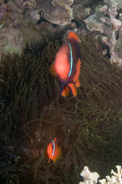 xxTomato Anenome Fish 2.jpg