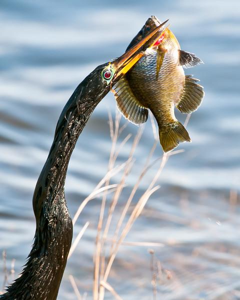 Cormorant - The Catch
