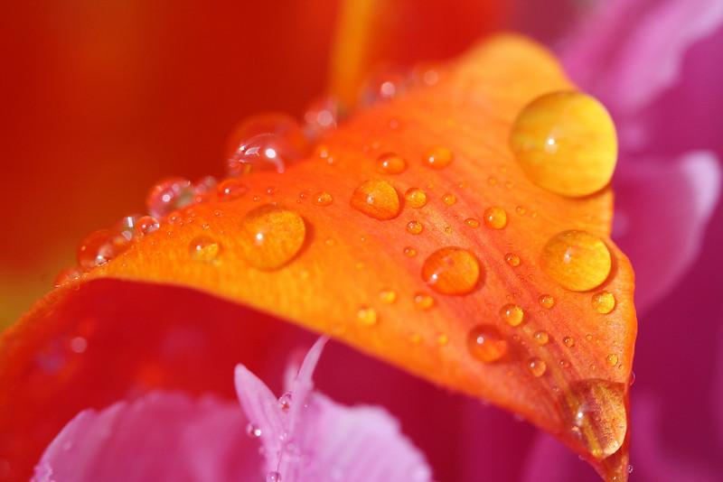 Tulip Macros 12.JPG
