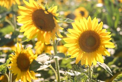 JLO Sunflower Shoot/NJ - Aug., 2010