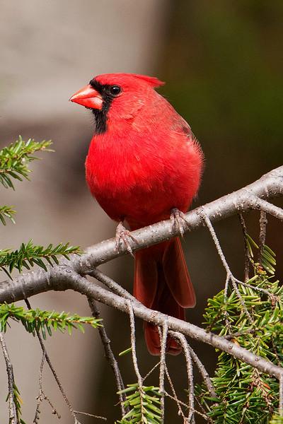 Cardinal - Northern - male - Potawatomi State Park - Door County, WI - 04