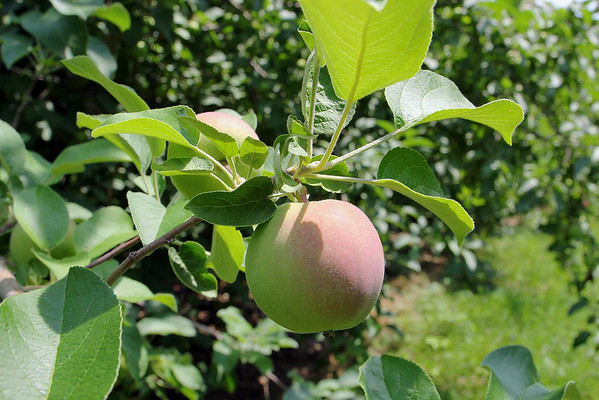 Pearl Hill Road Orchard