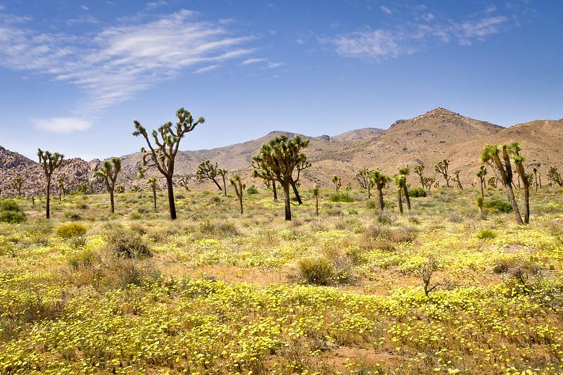 Joshua Landscape