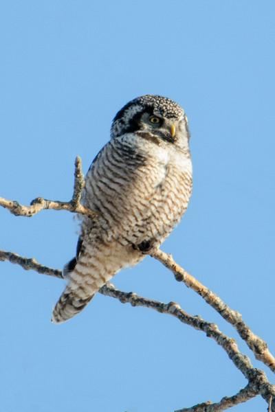 Owl - Northern Hawk - Hwy 2 - Itasca County, MN