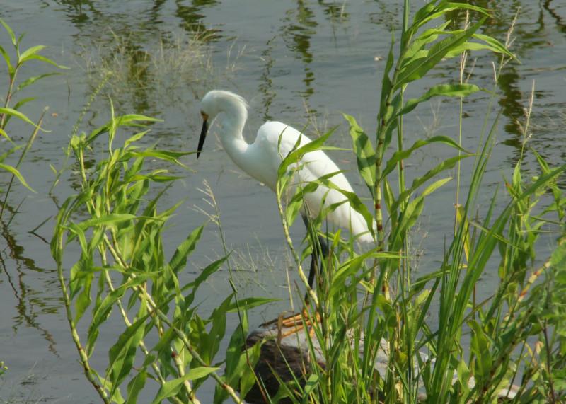 Snowy Egret @ Riverlands MBS [Ellis Bay]