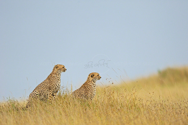 Two cheetahs in Masai Mara