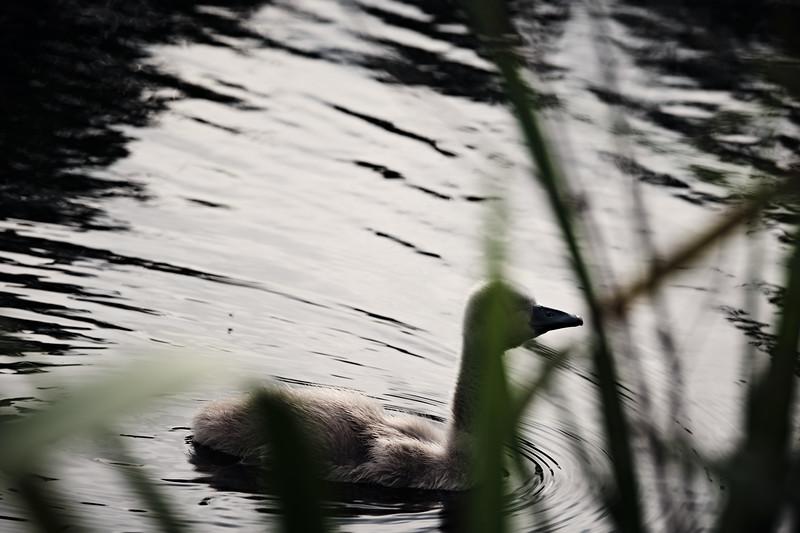 Swans_Of_Castletown042.jpg