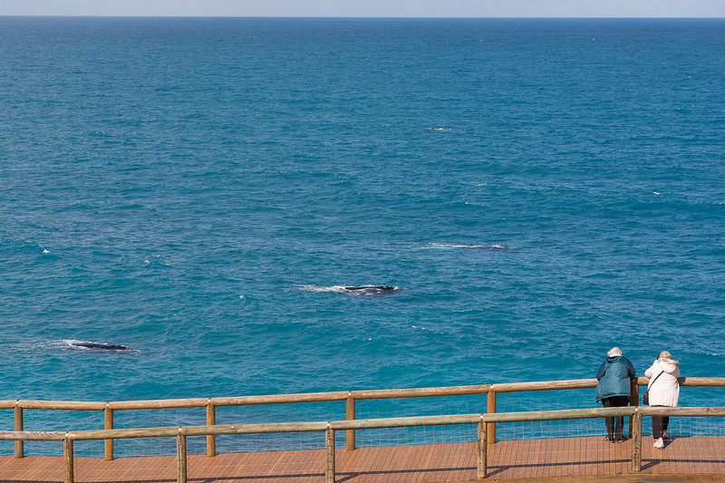 Southern right whales - moms and their calves