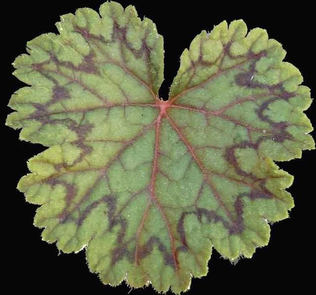 Pelargonium barklyii leaf